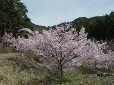 三つ峠桜.JPG
