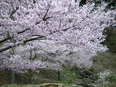 桜の下山道.JPG
